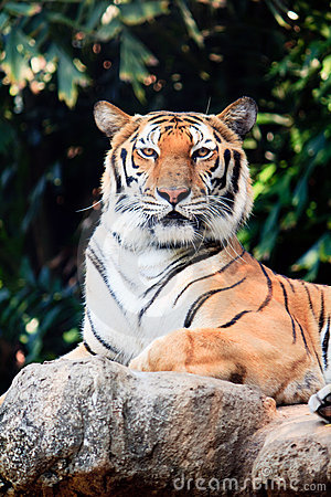 Bengal tiger staring at something