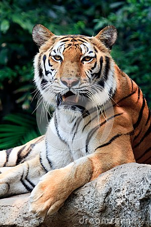Bengal tiger starring at the camera