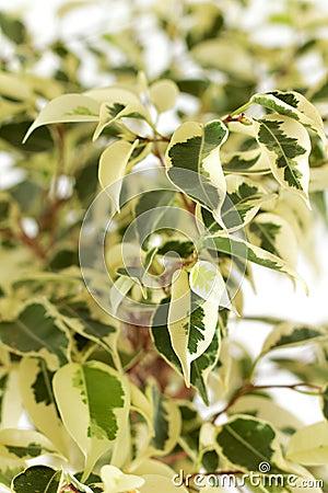 Benjamin leafs