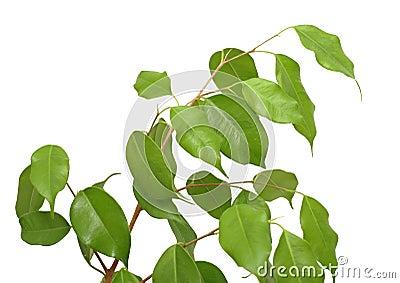 Benjamina del Ficus, aislado