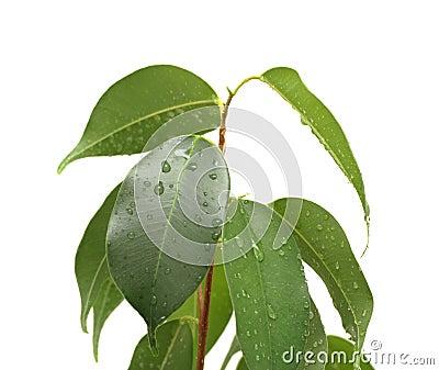 Benjamina del Ficus con los waterdrops, aislados