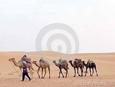 Berber man with camels Editorial Image