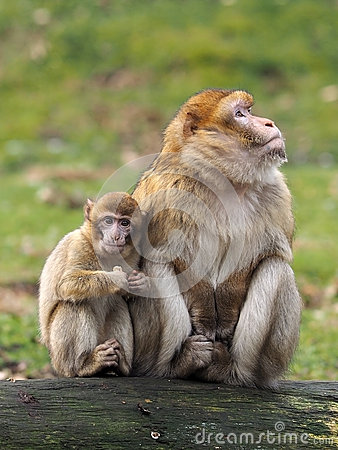 Free Berber Monkey Mother And Child Stock Photos - 39671953