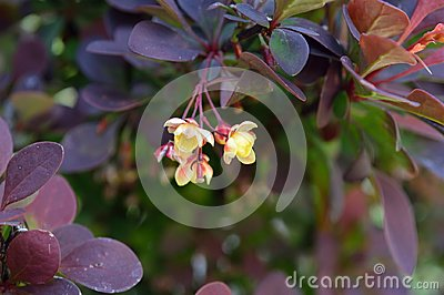 Barberry Flower Cluster