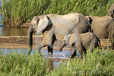 Bere degli elefanti