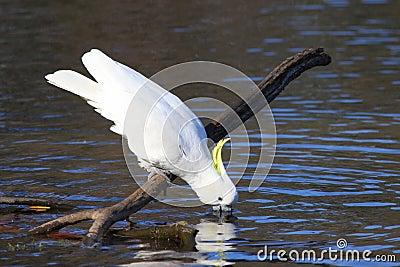 Bere Zolfo-crestato del Cockatoo