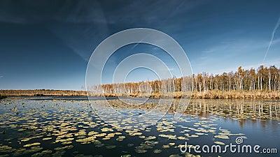 Berezinsky, riserva di biosfera, Bielorussia Fiume di Autumn Landscape With Lake Pond e bella betulla Forest On Another archivi video