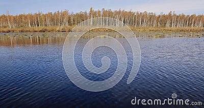Berezinsky, riserva di biosfera, Bielorussia Fiume di Autumn Landscape With Lake Pond e bella betulla Forest On Another video d archivio