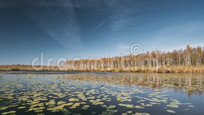 Berezinsky, riserva di biosfera, Bielorussia Fiume di Autumn Landscape With Lake Pond e bella betulla Forest On Another stock footage