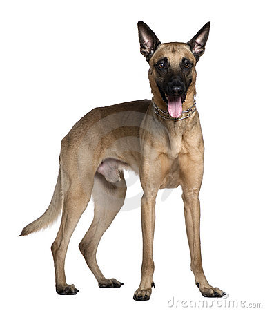 Berger Malinois, 3 years old, standing
