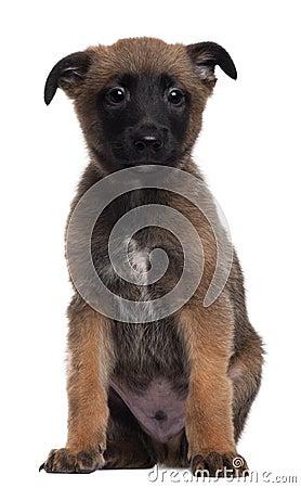 Berger Malinois, 7 weeks old