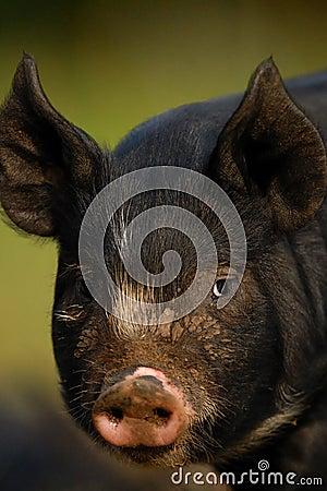 Berkshire Black Piglet