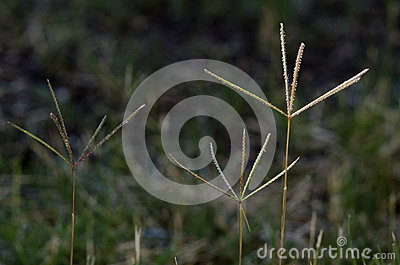Bermuda Grass Flowers