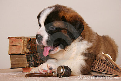 Bernard dog relaxing after smoking pipe