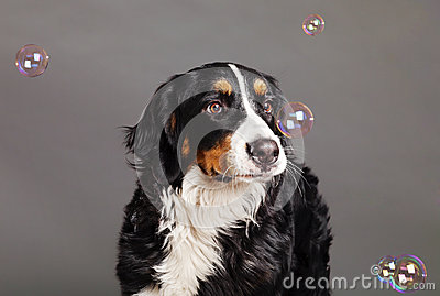 Bernard Sennenhund with Soap Bubbles at Studio