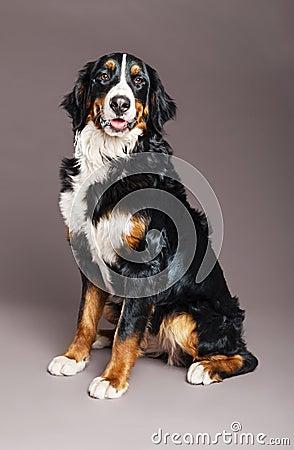 Bernard Sennenhund Studio portrait