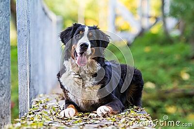 Собака горы Bernese