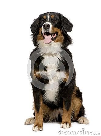 Bernese mountain dog (1 year)