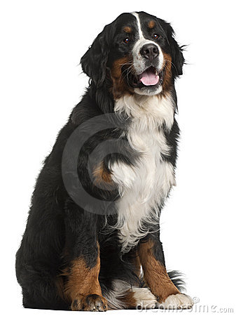 Bernese Mountain Dog, 1 year old, sitting