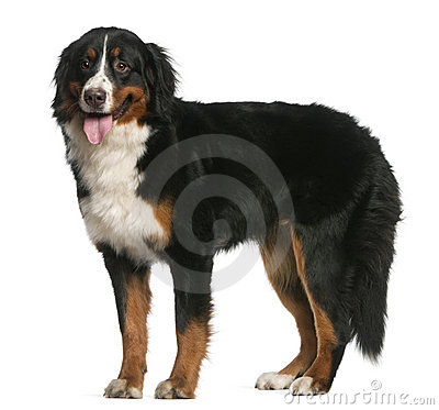 Free Bernese Mountain Dog, 12 Months Old, Standing Stock Image - 22629361