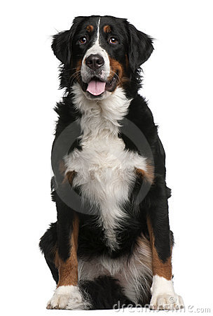 Bernese Mountain Dog, 16 months old, sitting