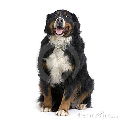 Free Bernese Mountain Dog Stock Images - 2274864