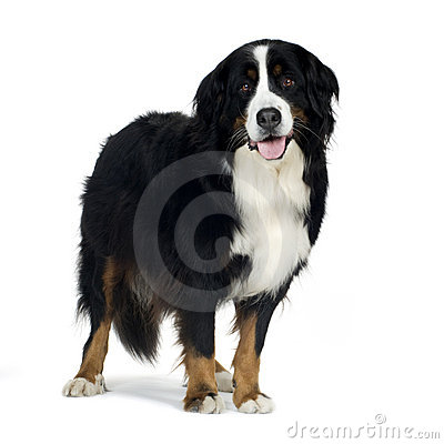 Bernese mountain dog (4 years)
