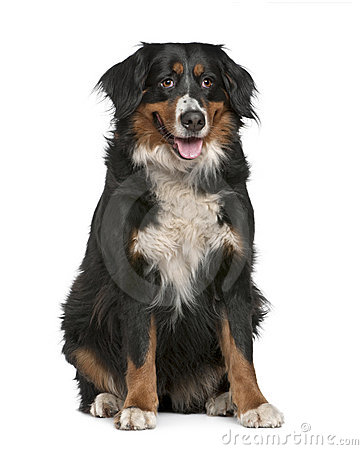 Bernese mountain dog, 4 years old, sitting