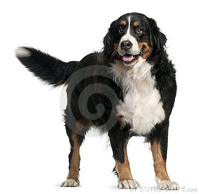 Free Bernese Mountain Dog, 4 Years Old, Standing Stock Photography - 17038812
