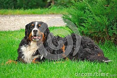 Bernese Mountain Dog Laying on Grass