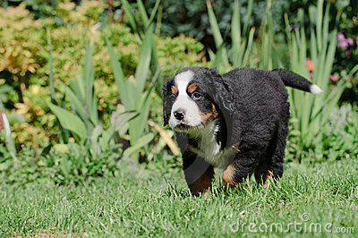 Bernese Mountain Dog pupp portrait