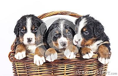 Bernese sennenhund puppies