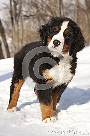 Bernese sennenhund puppy