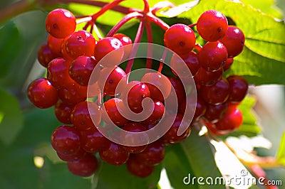 Berries of arrowwood