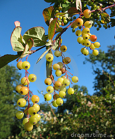 The berries of barberry (Berberis) in the park