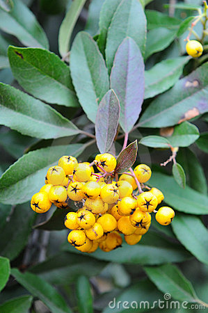 Berries and leaves yellow toyon