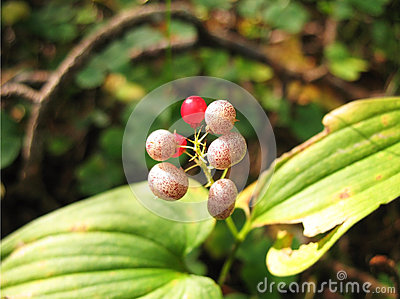 Berries Maianthemum bifolium
