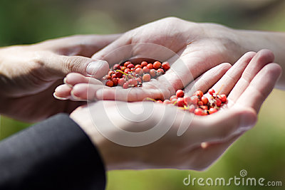 Berries of red ash berry in hand
