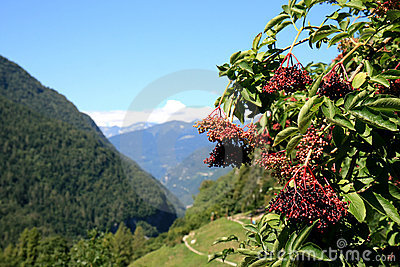 Berries of the red elderberry, Italian Dolomites