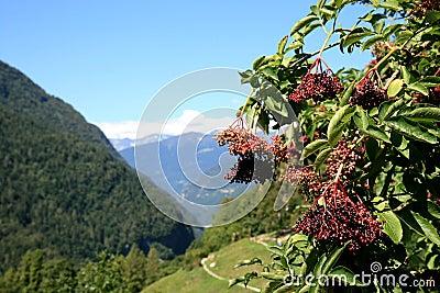 Berries of the red elderberry, Italian Dolomites