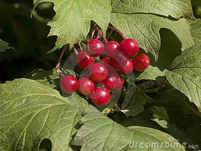 Berries of red viburnum