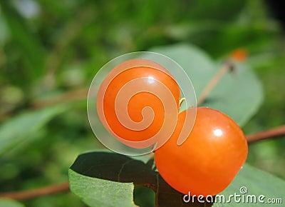 Berries Tatarian honeysuckle