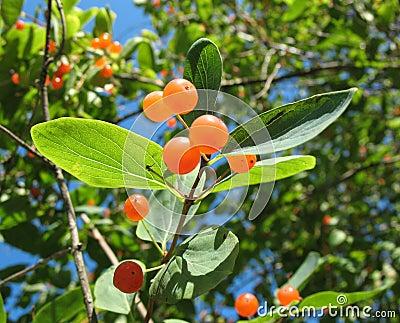 Berries Tatarian honeysuckle (Lonicera tatarica)