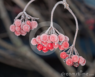 Berries under hoarfrost