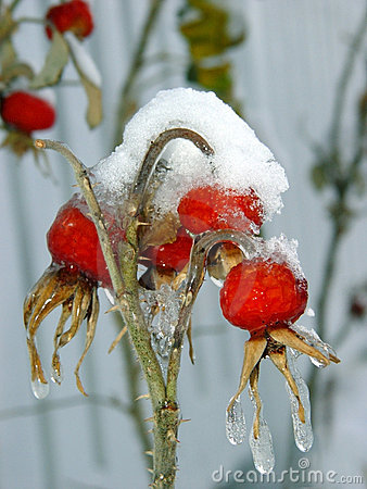 Free Berries Under Snow Stock Photos - 21183