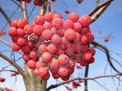 Berries of wild ash