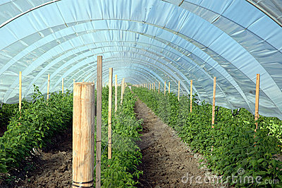 Berry greenhouse