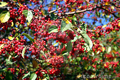 Berry tree