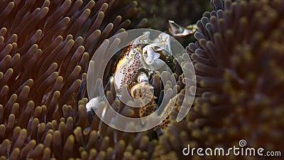Beschmutzte Porzellan-Krabbe stock video footage