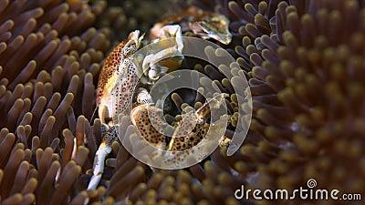 Beschmutzte Porzellan-Krabbe stock footage